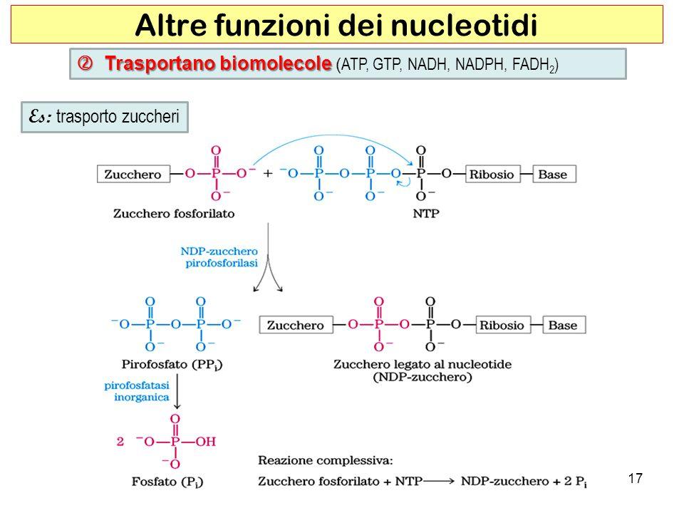 17 Altre funzioni dei nucleotidi Es: trasporto zuccheri Trasportano biomolecole Trasportano biomolecole ( ATP, GTP, NADH, NADPH, FADH 2 )