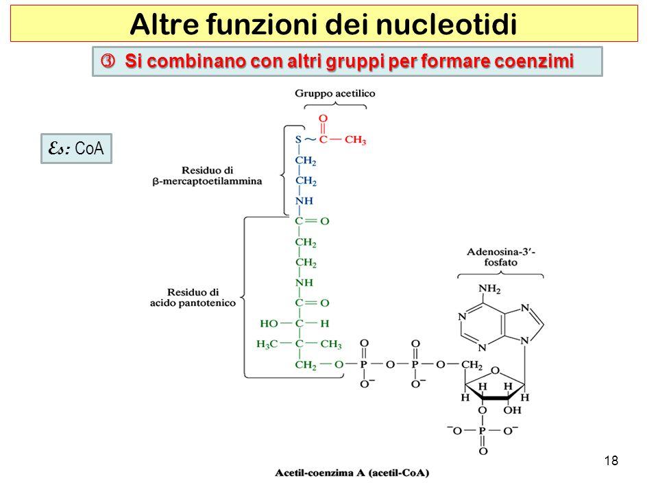 18 Altre funzioni dei nucleotidi Si combinano con altri gruppi per formare coenzimi Si combinano con altri gruppi per formare coenzimi Es: CoA
