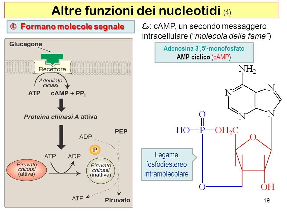 Adenosina 3',5'-monofosfato AMP ciclico (cAMP) 19 Legamefosfodiestereointramolecolare Altre funzioni dei nucleotidi (4) Formano molecole segnale Forma