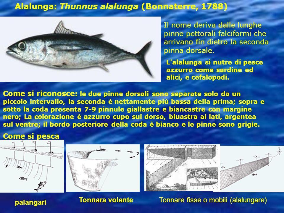 Alalunga: Thunnus alalunga (Bonnaterre, 1788) Il nome deriva dalle lunghe pinne pettorali falciformi che arrivano fin dietro la seconda pinna dorsale.