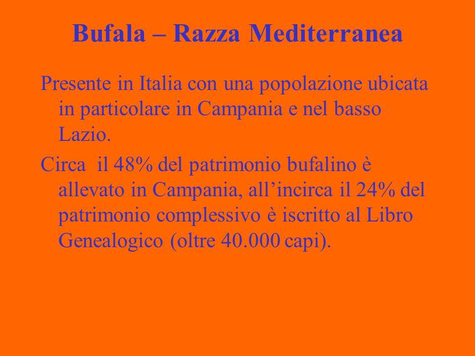 Bufala – Razza Mediterranea Presente in Italia con una popolazione ubicata in particolare in Campania e nel basso Lazio.
