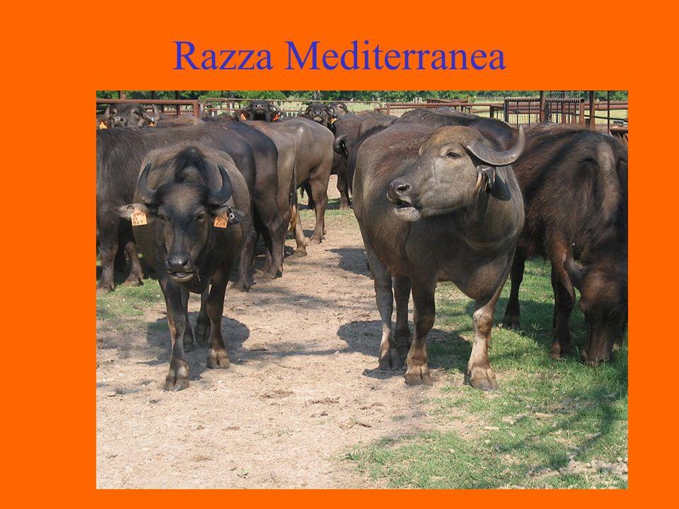Razza Mediterranea