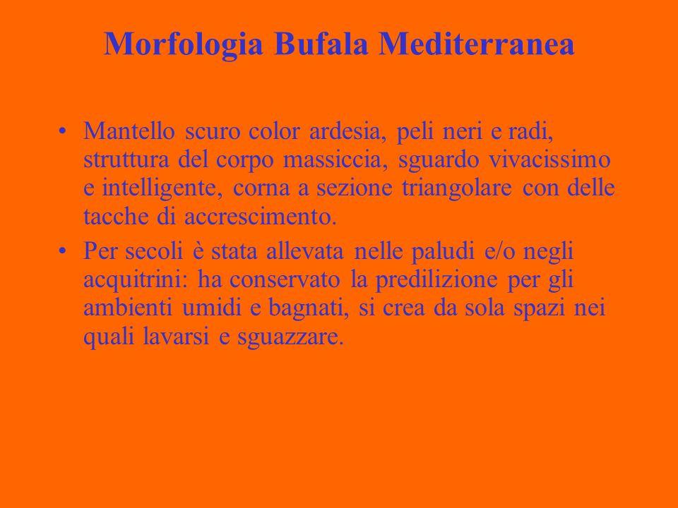 Morfologia Bufala Mediterranea Mantello scuro color ardesia, peli neri e radi, struttura del corpo massiccia, sguardo vivacissimo e intelligente, corna a sezione triangolare con delle tacche di accrescimento.