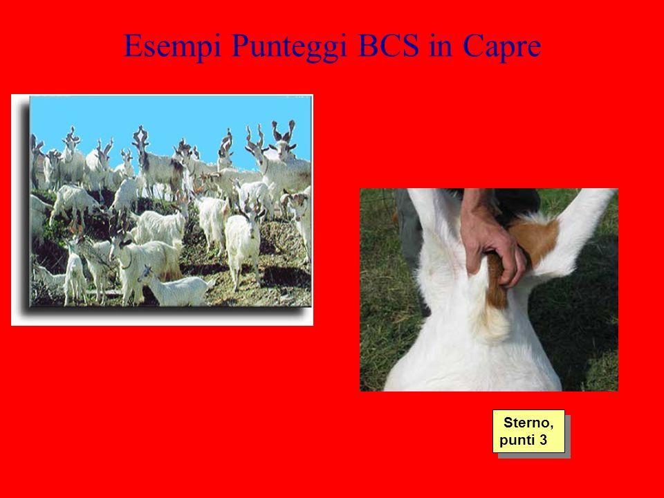 Esempi Punteggi BCS in Capre Sterno, punti 3