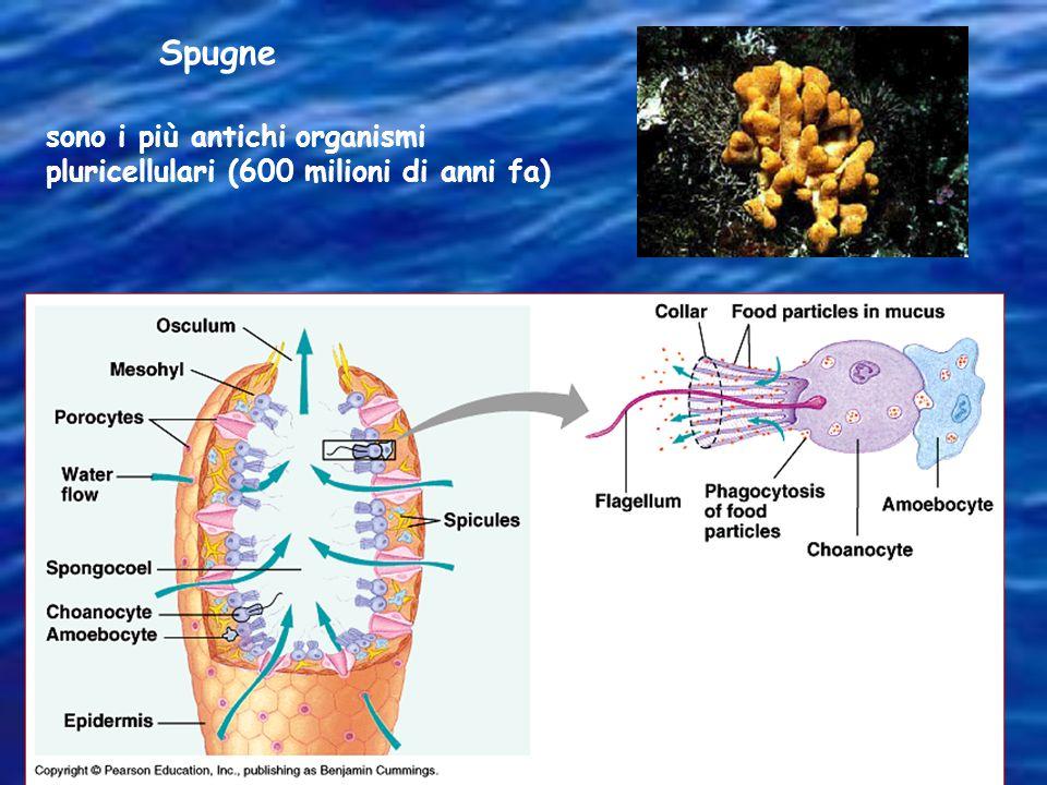Spugne sono i più antichi organismi pluricellulari (600 milioni di anni fa)