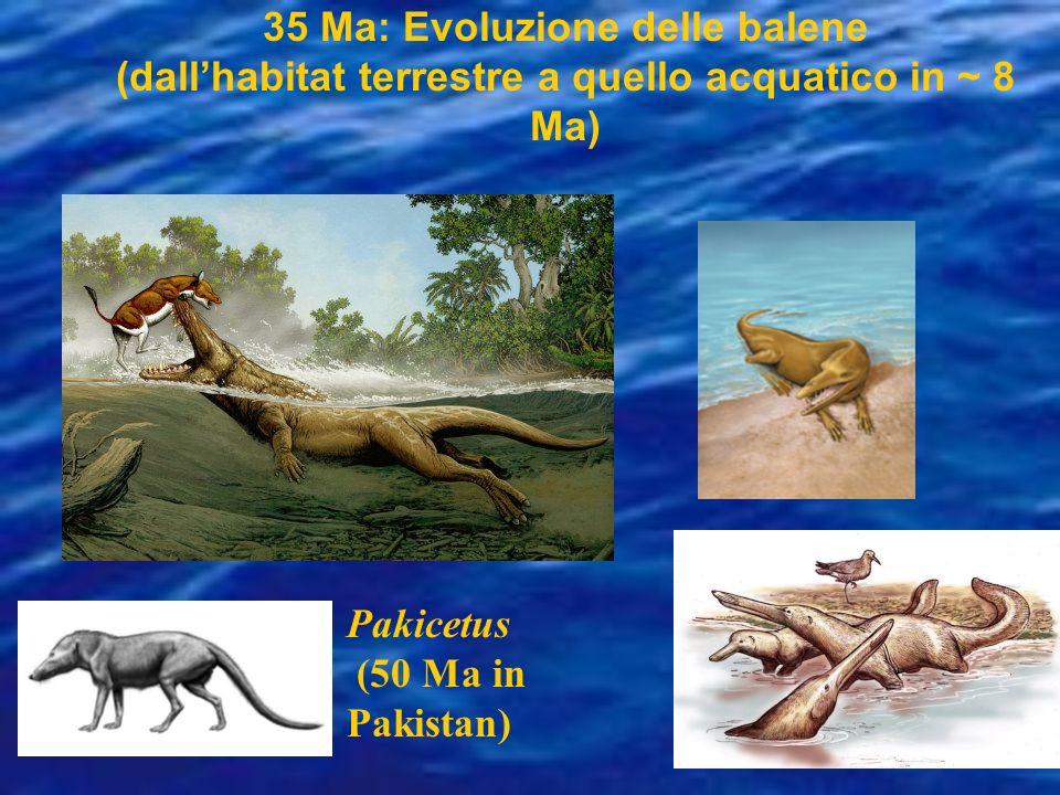 35 Ma: Evoluzione delle balene (dallhabitat terrestre a quello acquatico in ~ 8 Ma) Pakicetus (50 Ma in Pakistan)