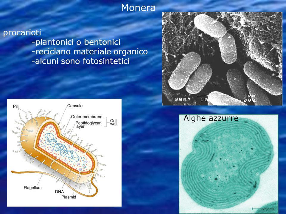 procarioti -plantonici o bentonici -reciclano materiale organico -alcuni sono fotosintetici Alghe azzurre Monera