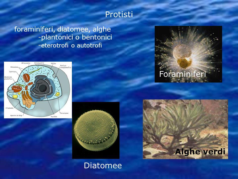 Protisti foraminiferi, diatomee, alghe -plantonici o bentonici - eterotrofi o autotrofi Foraminiferi Diatomee Alghe verdi