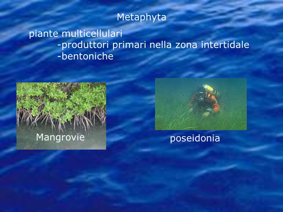 Metaphyta piante multicellulari -produttori primari nella zona intertidale -bentoniche Mangrovie poseidonia