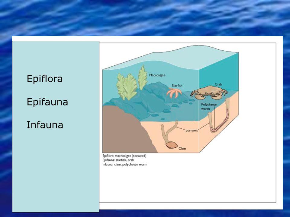 Epiflora Epifauna Infauna