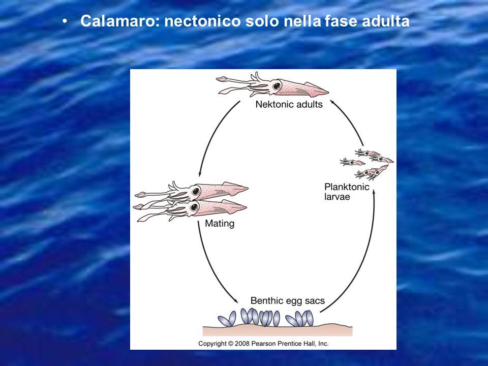 Calamaro: nectonico solo nella fase adulta