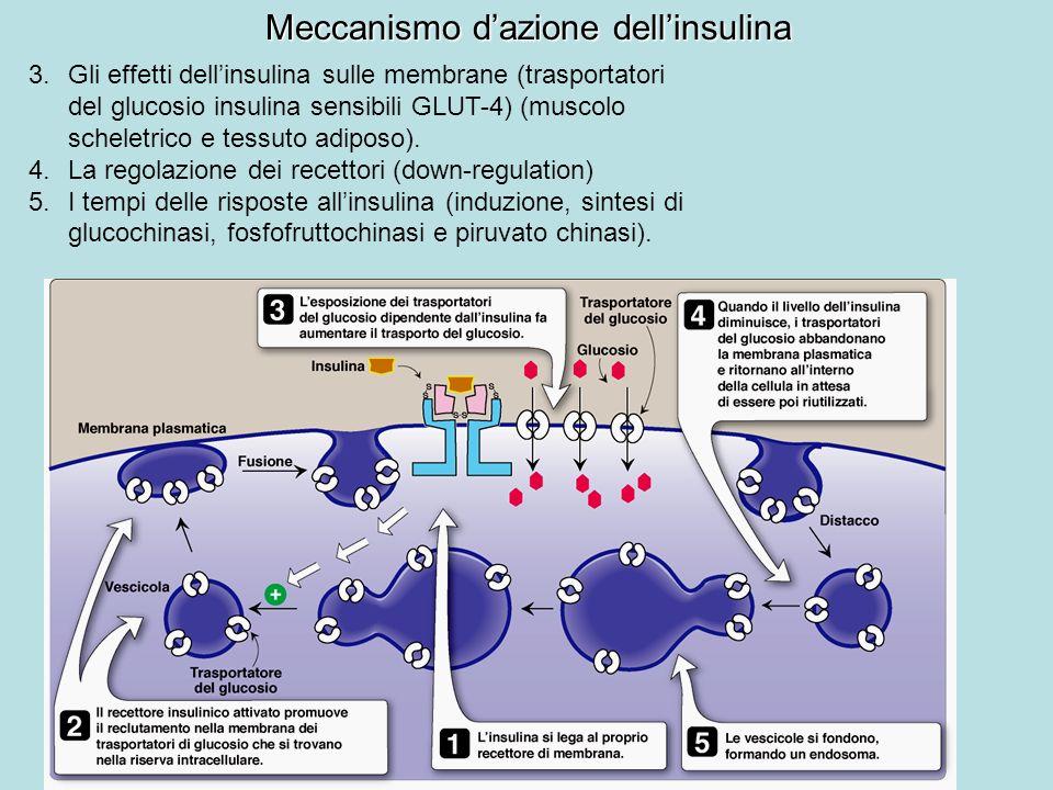 3.Gli effetti dellinsulina sulle membrane (trasportatori del glucosio insulina sensibili GLUT-4) (muscolo scheletrico e tessuto adiposo). 4.La regolaz