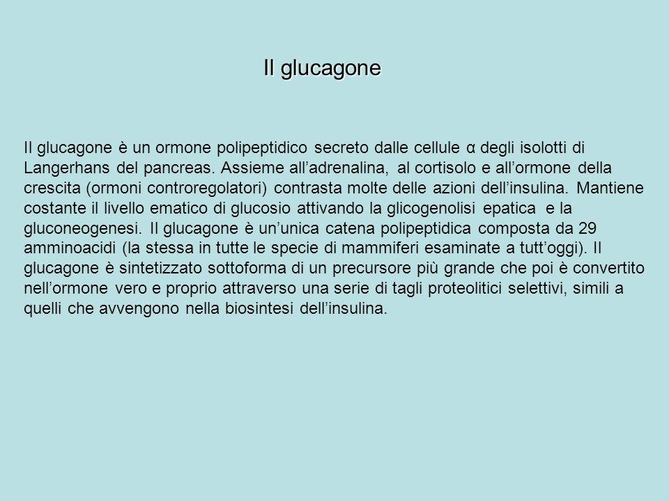 Il glucagone Il glucagone è un ormone polipeptidico secreto dalle cellule α degli isolotti di Langerhans del pancreas. Assieme alladrenalina, al corti
