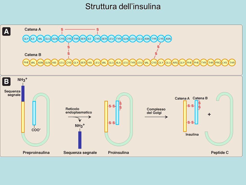 Sintesi dellinsulina Peptide C: è indispensabile per il corretto ripiegamento della proinsulina e poiché la sua emivita plasmatica è più lunga è un buon indicatore della produzione e della secrezione dellinsulina nella diagnosi di diabete giovanile.