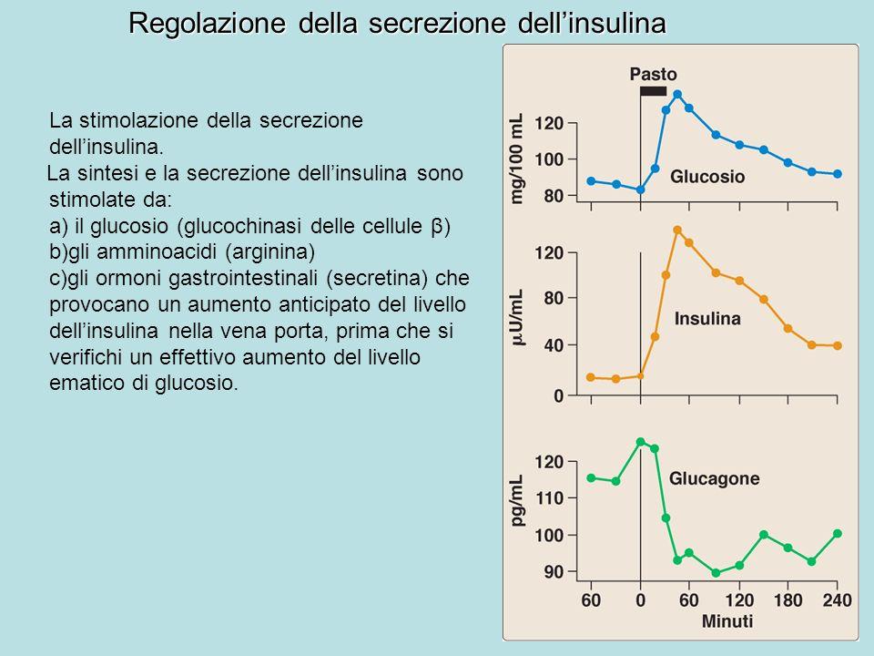 Regolazione della secrezione dellinsulina La stimolazione della secrezione dellinsulina. La sintesi e la secrezione dellinsulina sono stimolate da: a)