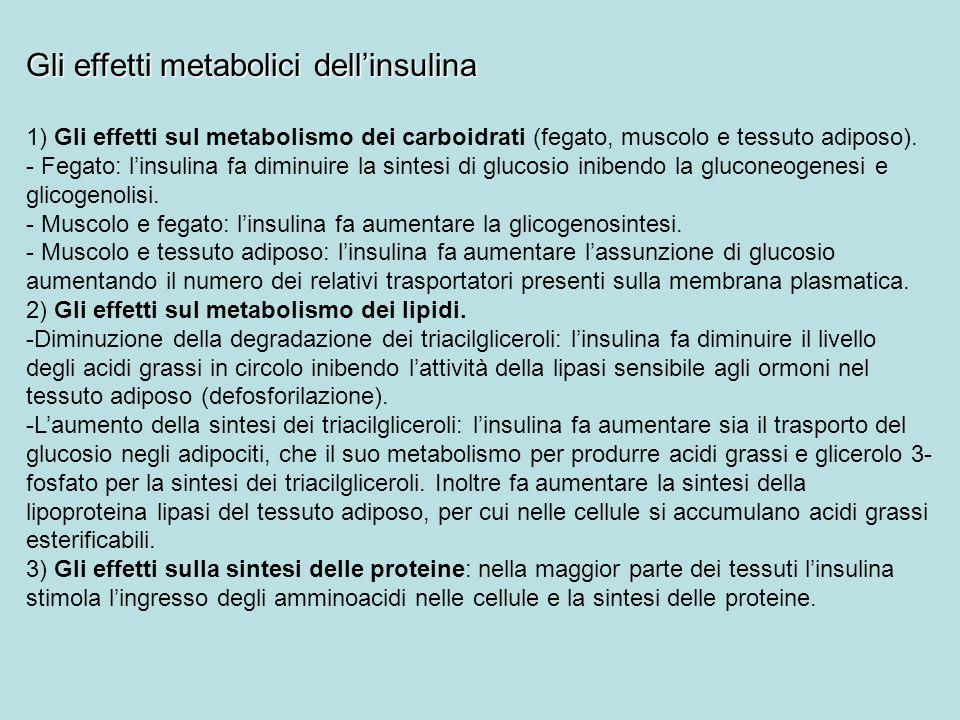 Gli effetti metabolici dellinsulina 1) Gli effetti sul metabolismo dei carboidrati (fegato, muscolo e tessuto adiposo). - Fegato: linsulina fa diminui