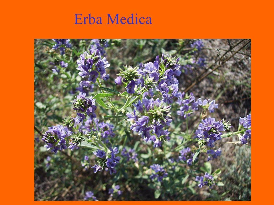 Erba Medica