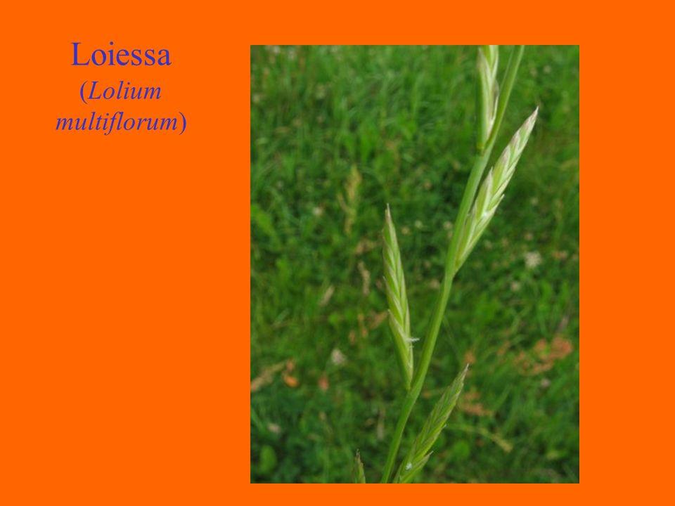 Loiessa (Lolium multiflorum)