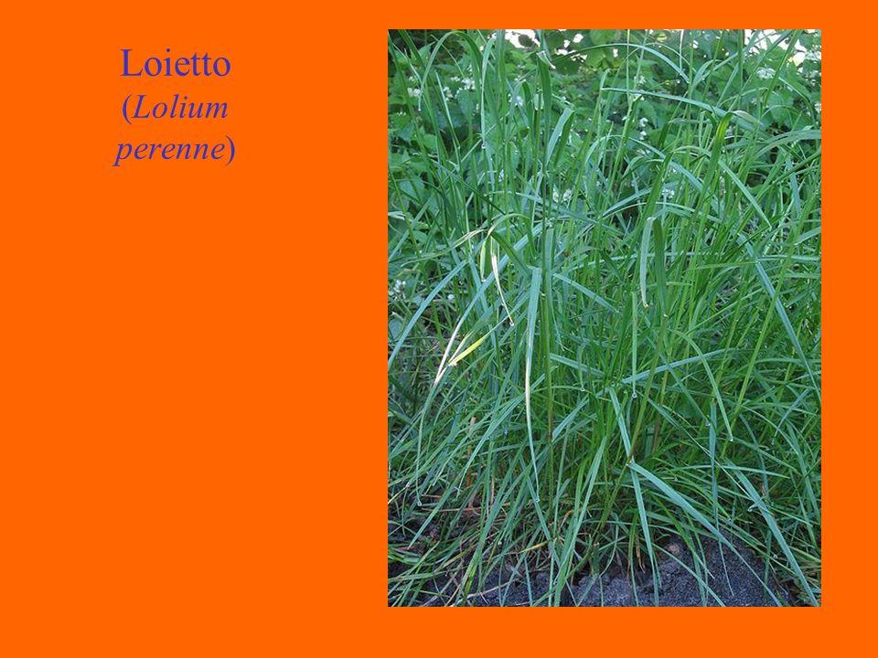Loietto (Lolium perenne)