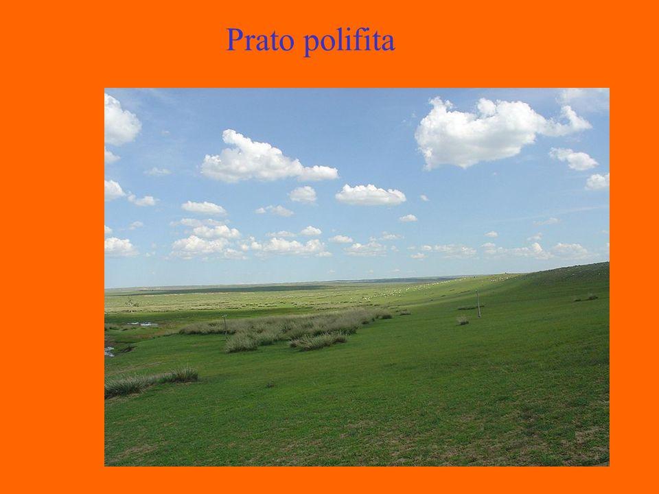 Prato polifita