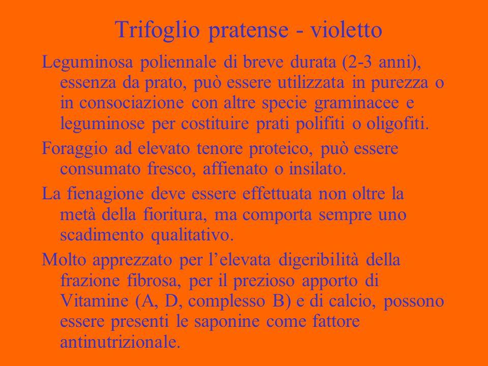 Trifoglio pratense - violetto Leguminosa poliennale di breve durata (2-3 anni), essenza da prato, può essere utilizzata in purezza o in consociazione con altre specie graminacee e leguminose per costituire prati polifiti o oligofiti.