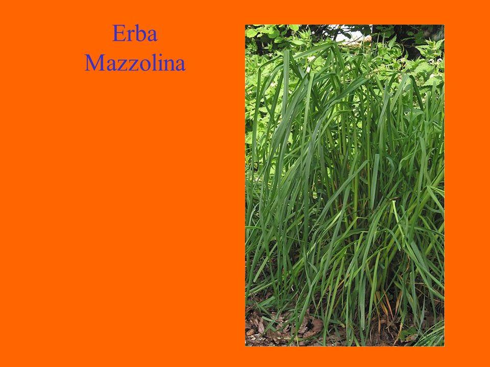 Erba Mazzolina