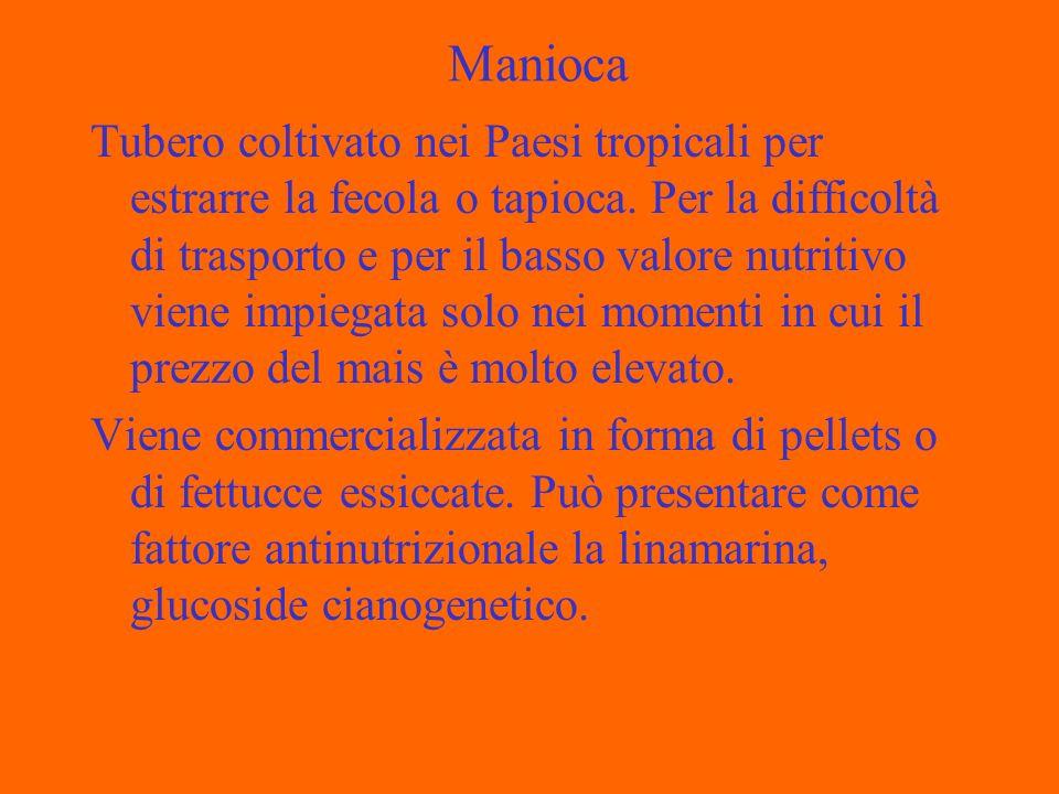 Manioca Tubero coltivato nei Paesi tropicali per estrarre la fecola o tapioca. Per la difficoltà di trasporto e per il basso valore nutritivo viene im
