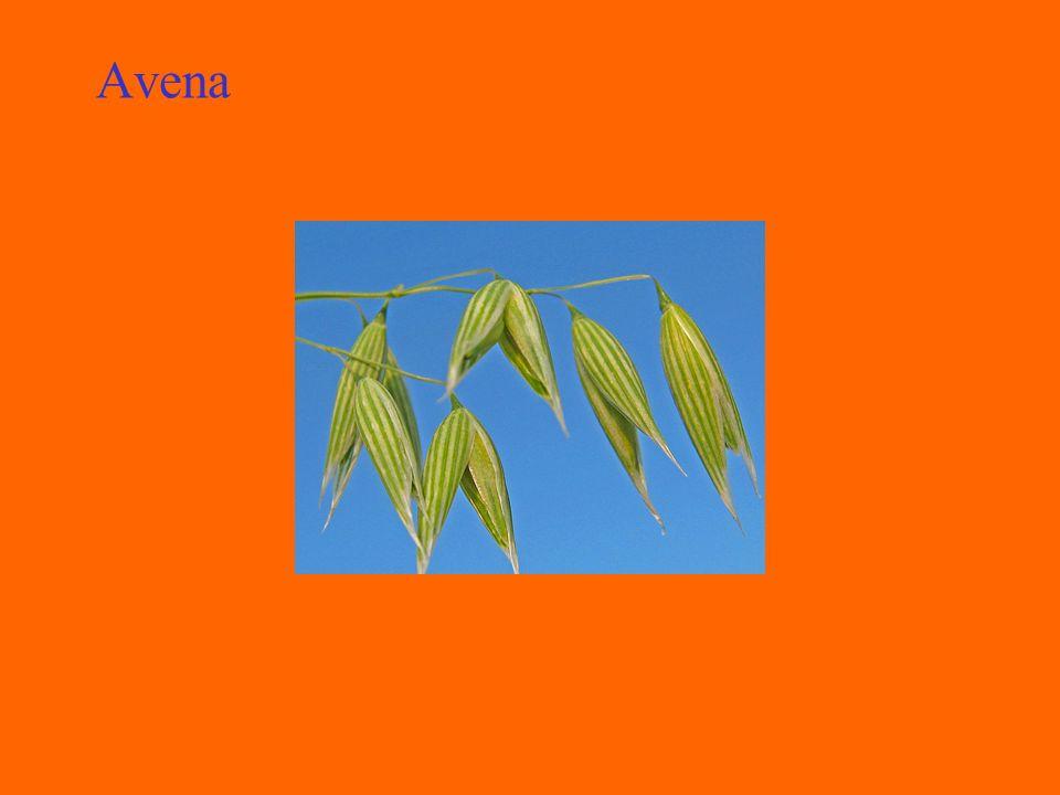 Triticale Cereale di costituzione recente ottenuto dallincrocio tra il frumento e la segale, praticato con lo scopo di unire la rusticità e la resistenza al freddo della segale alla produttività e qualità del frumento.