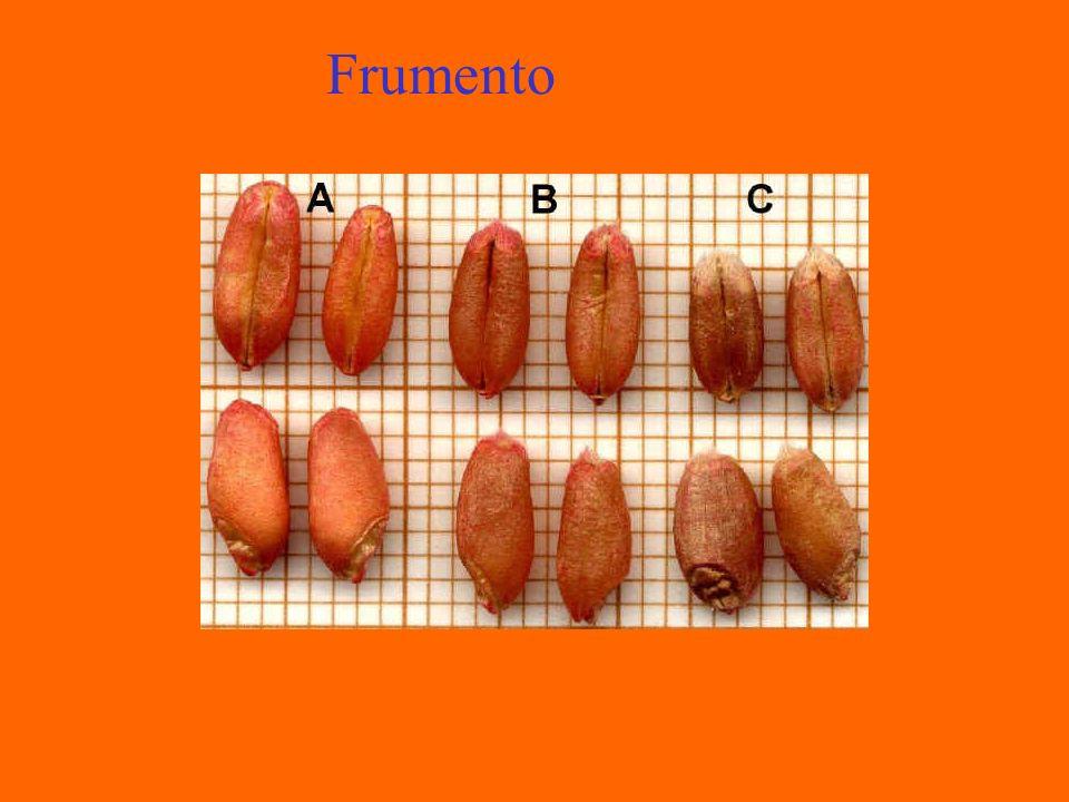 Mais Giallo e Bianco La cariosside può variare di colore: bianco, giallo, arancione, rosso.