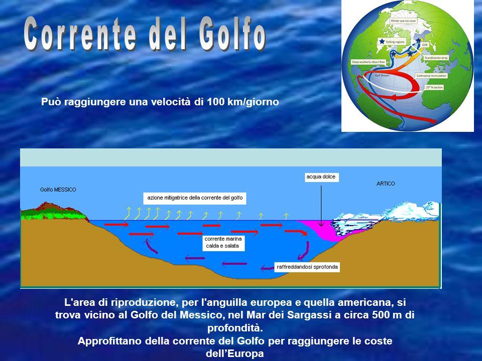 L area di riproduzione, per l anguilla europea e quella americana, si trova vicino al Golfo del Messico, nel Mar dei Sargassi a circa 500 m di profondità.