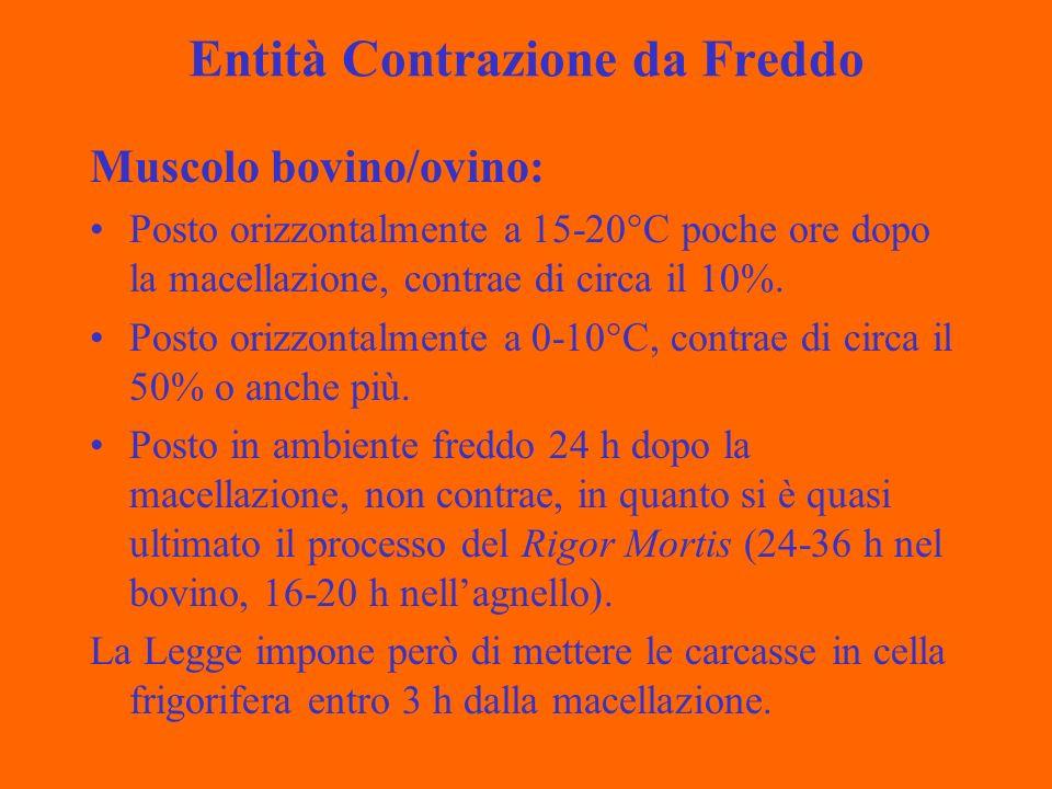 Entità Contrazione da Freddo Muscolo bovino/ovino: Posto orizzontalmente a 15-20°C poche ore dopo la macellazione, contrae di circa il 10%.
