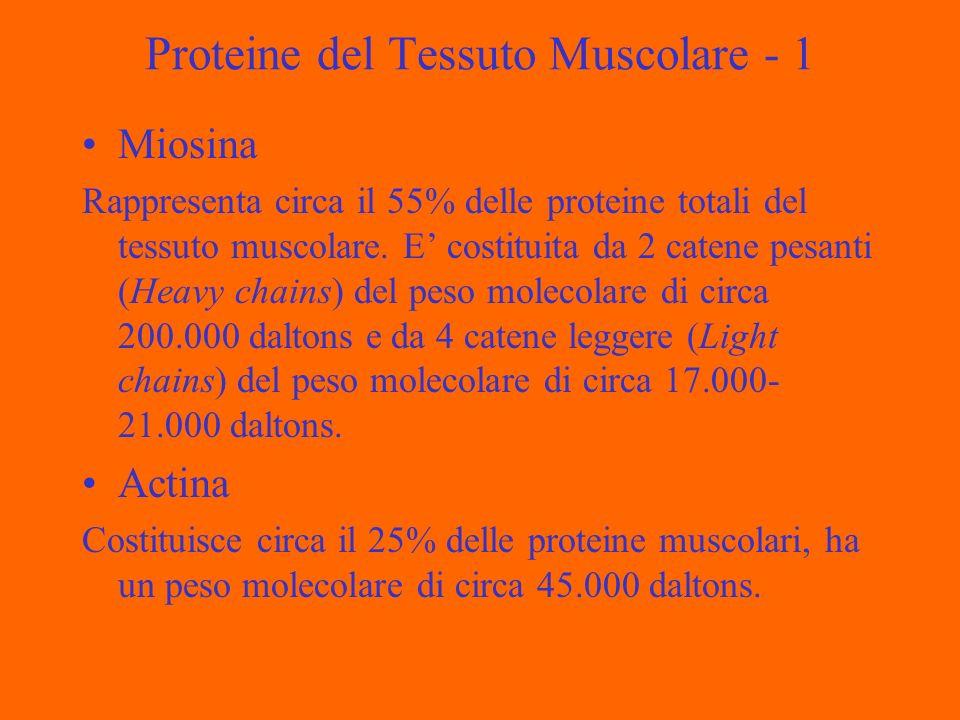Proteine del Tessuto Muscolare - 1 Miosina Rappresenta circa il 55% delle proteine totali del tessuto muscolare. E costituita da 2 catene pesanti (Hea