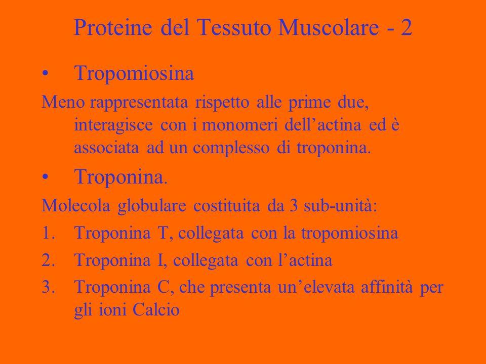 Proteine del Tessuto Muscolare - 2 Tropomiosina Meno rappresentata rispetto alle prime due, interagisce con i monomeri dellactina ed è associata ad un complesso di troponina.