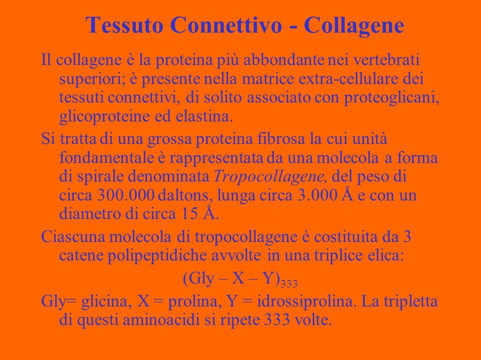 Tessuto Connettivo - Collagene Il collagene è la proteina più abbondante nei vertebrati superiori; è presente nella matrice extra-cellulare dei tessuti connettivi, di solito associato con proteoglicani, glicoproteine ed elastina.