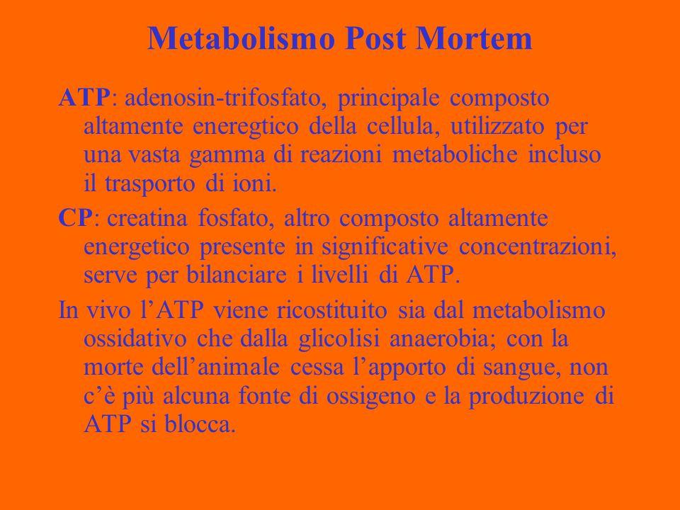 Metabolismo Post Mortem ATP: adenosin-trifosfato, principale composto altamente eneregtico della cellula, utilizzato per una vasta gamma di reazioni metaboliche incluso il trasporto di ioni.