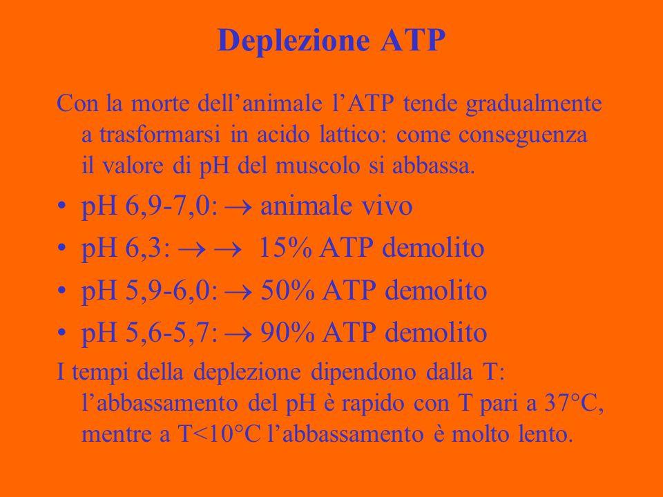 Deplezione ATP Con la morte dellanimale lATP tende gradualmente a trasformarsi in acido lattico: come conseguenza il valore di pH del muscolo si abbas