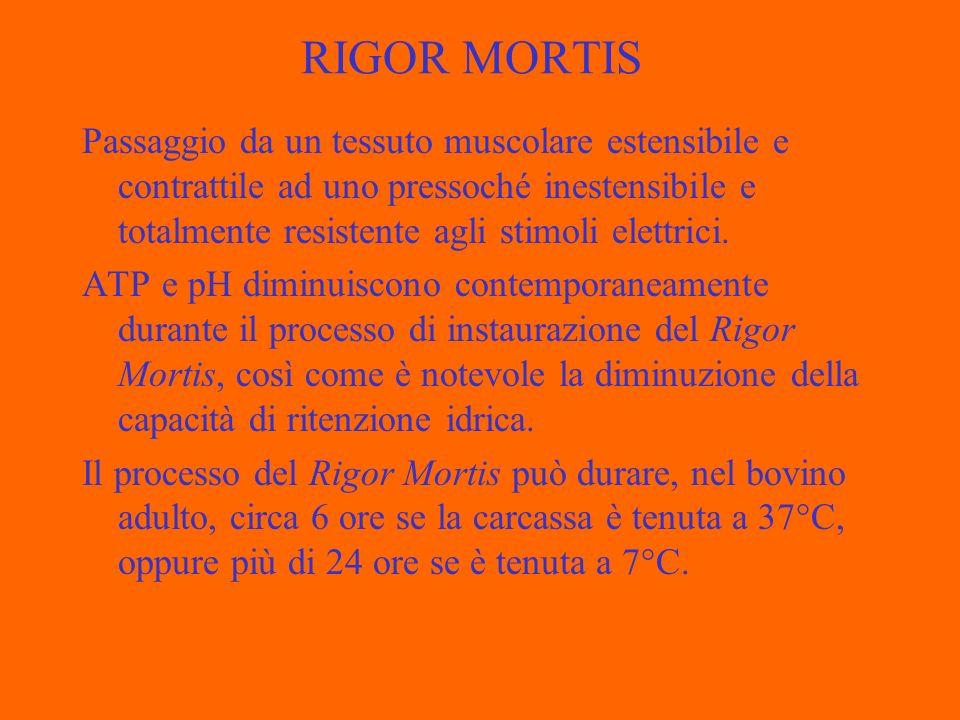 RIGOR MORTIS Passaggio da un tessuto muscolare estensibile e contrattile ad uno pressoché inestensibile e totalmente resistente agli stimoli elettrici.
