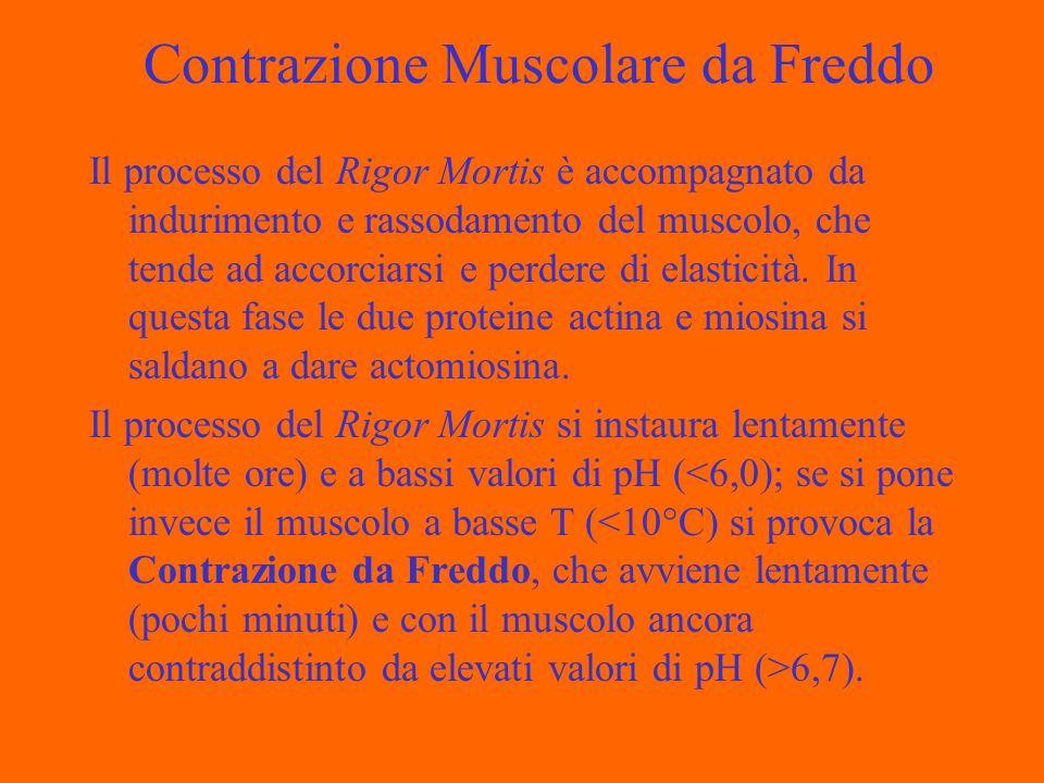 Contrazione Muscolare da Freddo Il processo del Rigor Mortis è accompagnato da indurimento e rassodamento del muscolo, che tende ad accorciarsi e perd