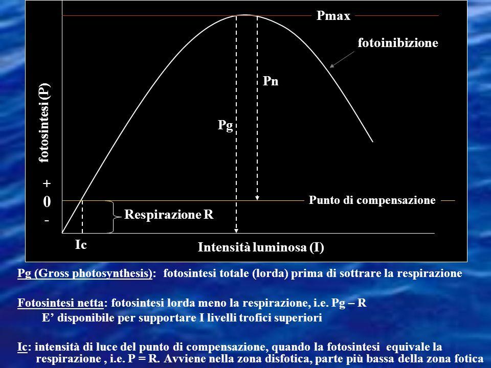 Punto di compensazione fotoinibizione Intensità luminosa (I) fotosintesi (P) +0-+0- Pmax Pg Pn Ic Respirazione R Pg (Gross photosynthesis): fotosintesi totale (lorda) prima di sottrare la respirazione Fotosintesi netta: fotosintesi lorda meno la respirazione, i.e.