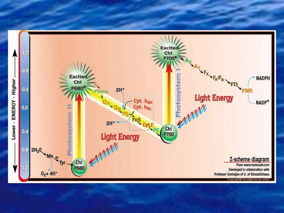 Punto di compensazione fotoinibizione Intensità luminosa (I) fotosintesi (P) +0-+0- Pmax Pg Pn Ic Respirazione R Pg (Gross photosynthesis): fotosintes