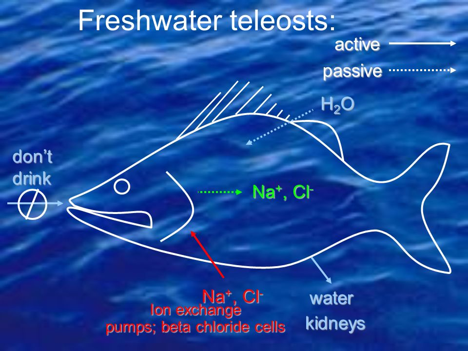 Cellula del cloro pavementcell PC PC active passive chloride cell accessorycell sea water internal mitochondria tubular system Na + K+K+K+K+ Na + K +