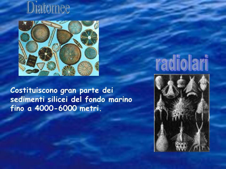 La Globigerina costituisce gran parte dei sedimenti calcarei del fondo marino fino a 4000 metri.