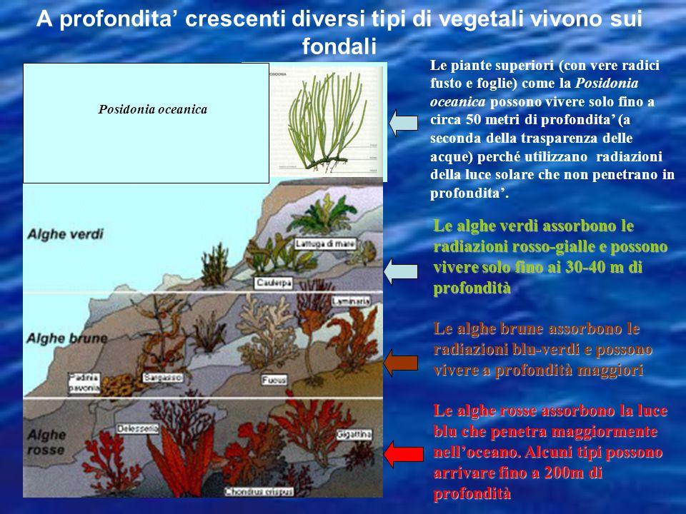Alghe Verdi Alghe brune Alghe rosse Zona fotica Zona disfotica Zona afotica La distribuzione degli organismi vegetali a seconda della penetrazione del
