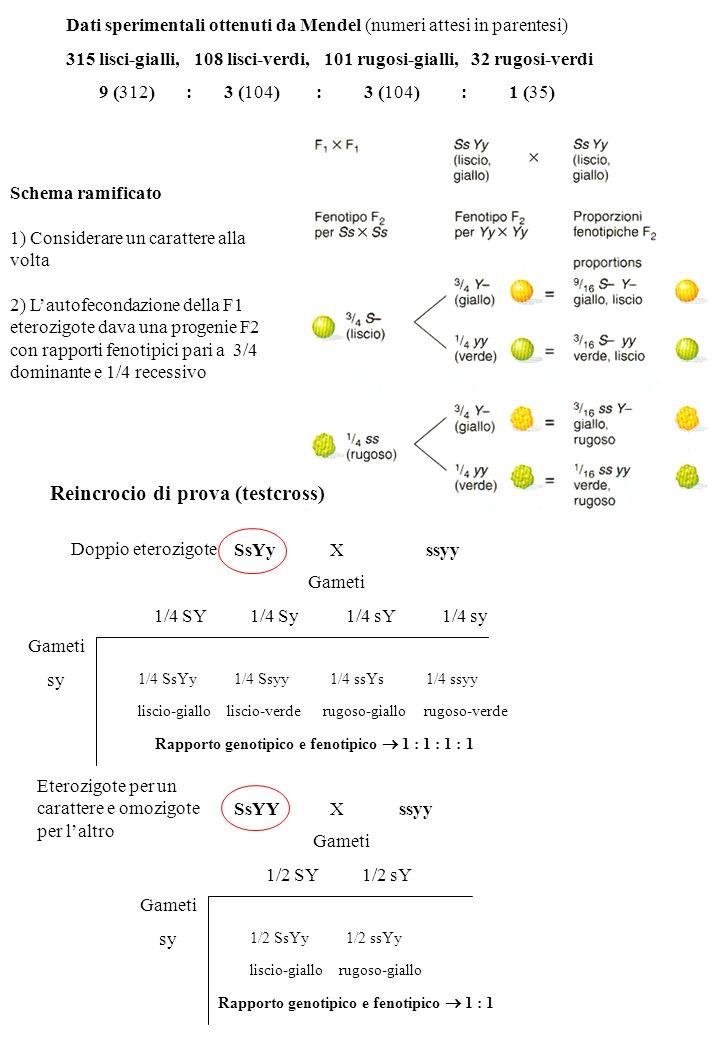 Dati sperimentali ottenuti da Mendel (numeri attesi in parentesi) 315 lisci-gialli, 108 lisci-verdi, 101 rugosi-gialli, 32 rugosi-verdi 9 (312) : 3 (104) : 3 (104) : 1 (35) Schema ramificato 1) Considerare un carattere alla volta 2) Lautofecondazione della F1 eterozigote dava una progenie F2 con rapporti fenotipici pari a 3/4 dominante e 1/4 recessivo SsYyXssyy Gameti 1/4 SY1/4 Sy1/4 sY1/4 sy Gameti sy 1/4 SsYy1/4 Ssyy1/4 ssYs1/4 ssyy liscio-giallo liscio-verde rugoso-giallo rugoso-verde Rapporto genotipico e fenotipico 1 : 1 : 1 : 1 SsYYX ssyy Gameti 1/2 SY1/2 sY Gameti sy 1/2 SsYy1/2 ssYy liscio-giallo rugoso-giallo Rapporto genotipico e fenotipico 1 : 1 Doppio eterozigote Eterozigote per un carattere e omozigote per laltro Reincrocio di prova (testcross)