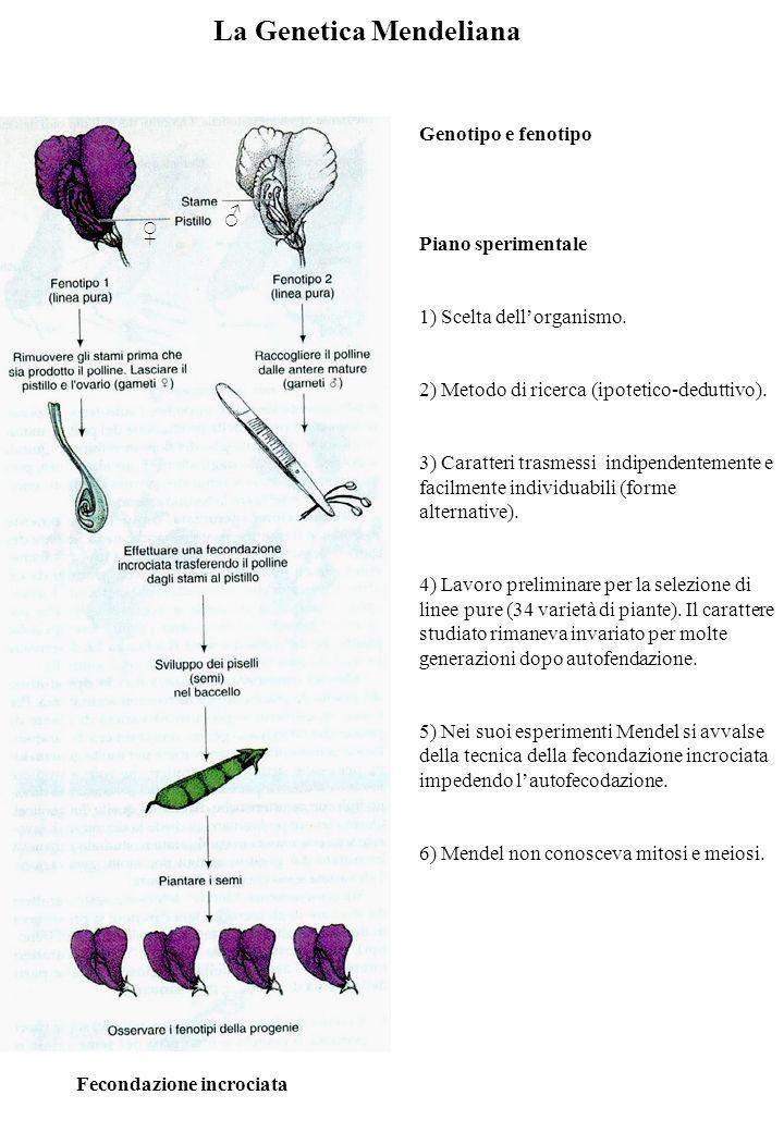 La Genetica Mendeliana Fecondazione incrociata Genotipo e fenotipo Piano sperimentale 1) Scelta dellorganismo.