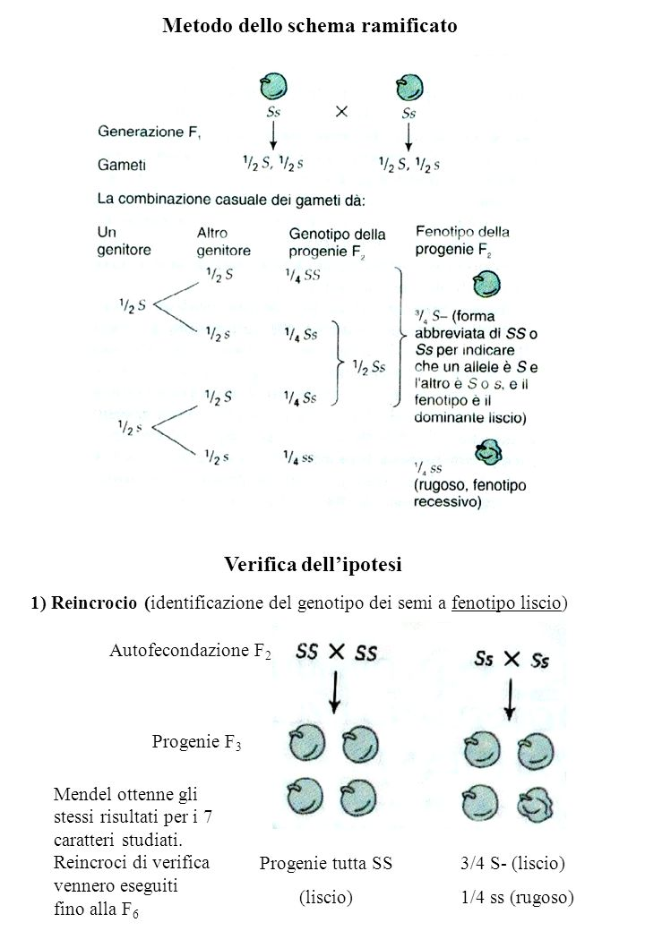 Metodo dello schema ramificato Verifica dellipotesi Autofecondazione F 2 Progenie F 3 Progenie tutta SS (liscio) 3/4 S- (liscio) 1/4 ss (rugoso) 1) Reincrocio (identificazione del genotipo dei semi a fenotipo liscio) Mendel ottenne gli stessi risultati per i 7 caratteri studiati.
