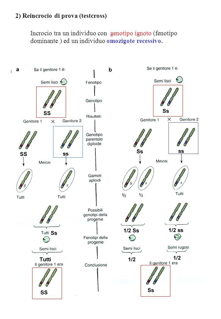 2) Reincrocio di prova (testcross) Incrocio tra un individuo con genotipo ignoto (fenotipo dominante ) ed un individuo omozigote recessivo.