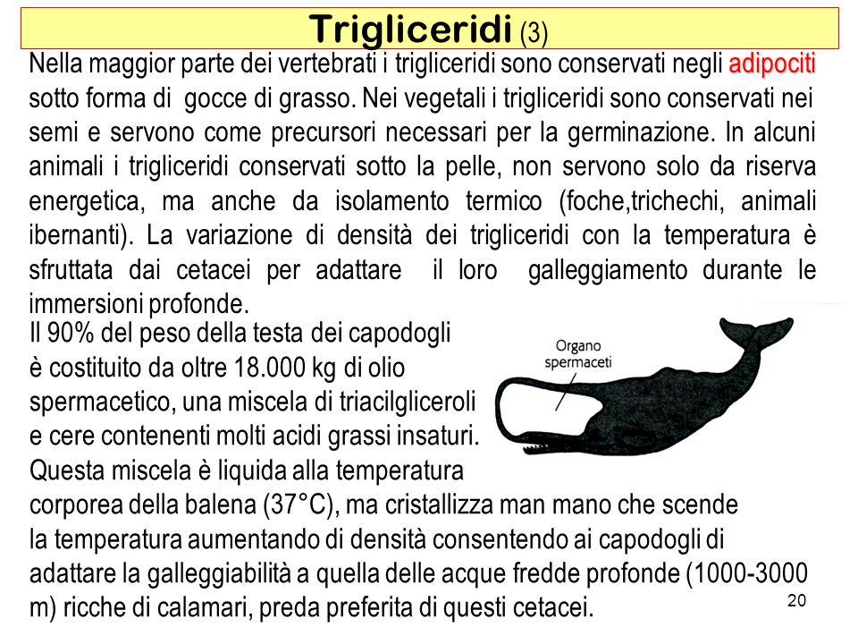 Il 90% del peso della testa dei capodogli è costituito da oltre 18.000 kg di olio spermacetico, una miscela di triacilgliceroli e cere contenenti molti acidi grassi insaturi.