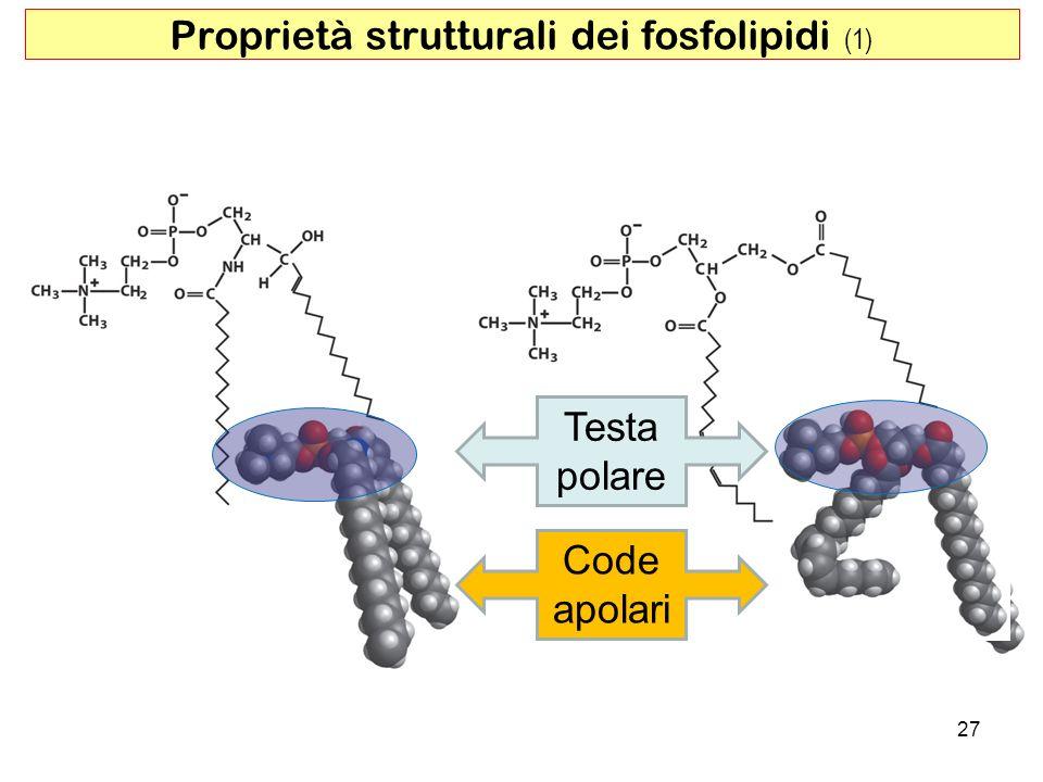 27 Proprietà strutturali dei fosfolipidi (1) Testa polare Code apolari