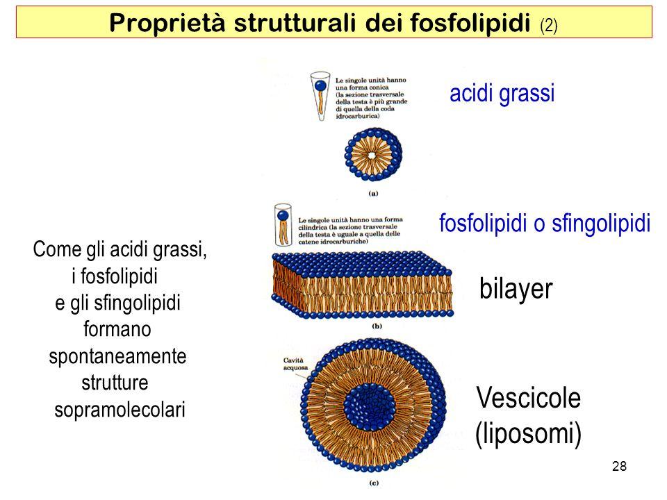 Vescicole (liposomi) bilayer Come gli acidi grassi, i fosfolipidi e gli sfingolipidi formano spontaneamente strutture sopramolecolari acidi grassi 28 fosfolipidi o sfingolipidi Proprietà strutturali dei fosfolipidi (2)